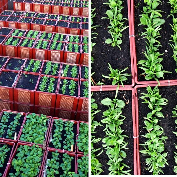 Fettes Grün in unseren Beeten nach nur zwei Wochen