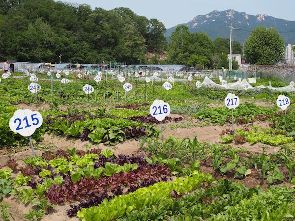Gemeinschaftsgärten auf der Musugol Farm, in der auch einer der letzten Reisteiche Seouls zu finden ist.