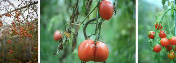 tryp-tomaten